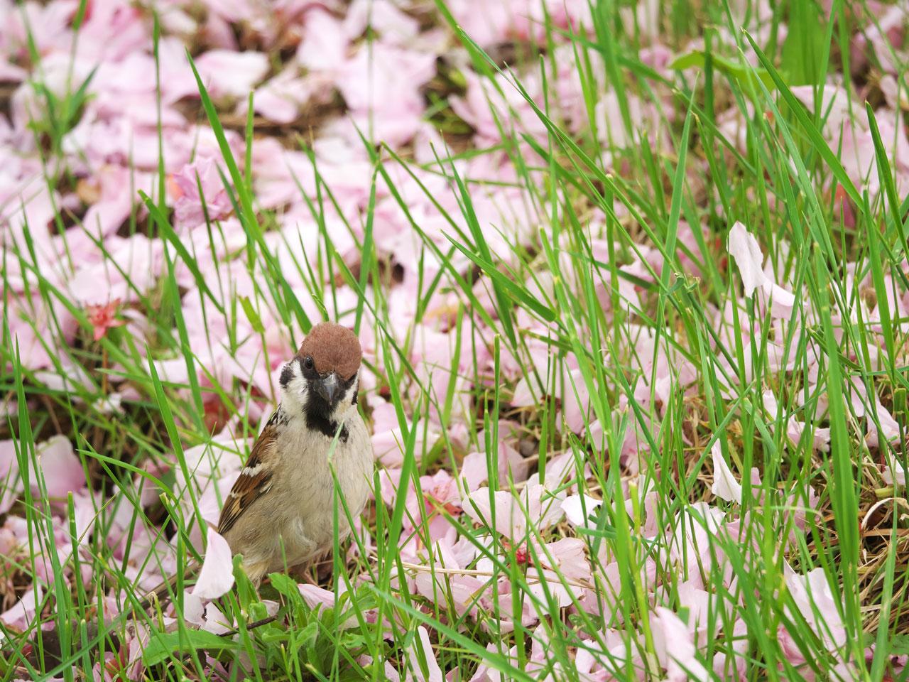 花びらの絨毯と梅スズメ3