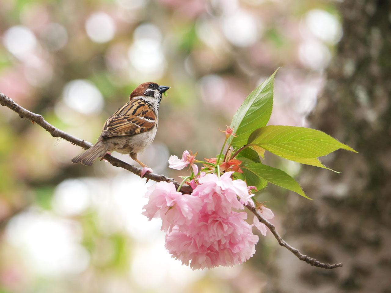 八重桜とスズメ2