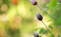 6月のクレマチス<br>あれもこれも咲いてます