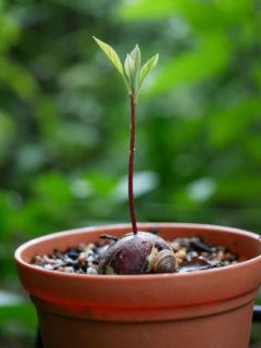 アボカドの種から発芽