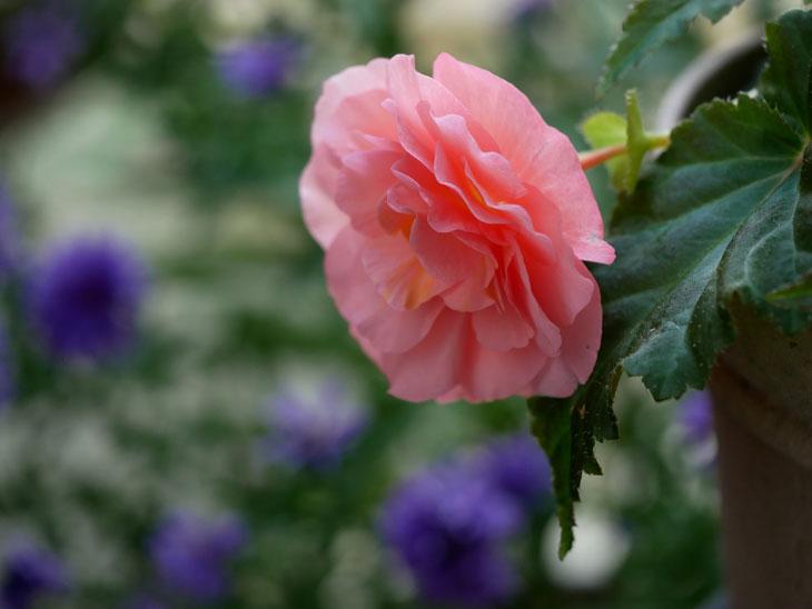フォーチュンベゴニア ピンク